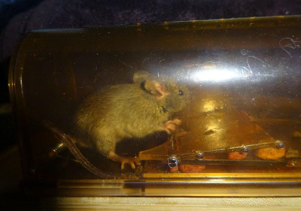 Trappage de souris suite et fin
